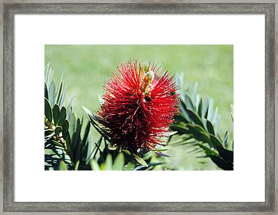 Callistemon - Bottle Brush 7 Framed Print by Isam Awad