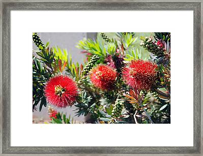 Callistemon - Bottle Brush 6 Framed Print by Isam Awad