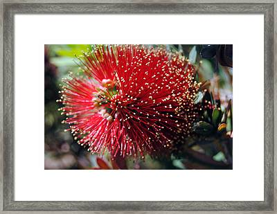 Callistemon - Bottle Brush 5 Framed Print by Isam Awad