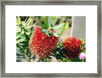 Callistemon - Bottle Brush 4 Framed Print by Isam Awad