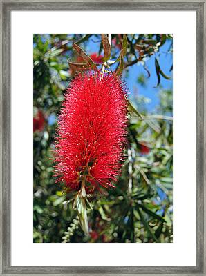 Callistemon - Bottle Brush 2 Framed Print by Isam Awad