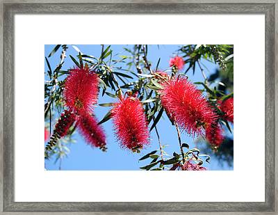 Callistemon - Bottle Brush 3 Framed Print by Isam Awad