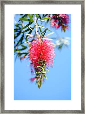 Callistemon - Bottle Brush 1 Framed Print by Isam Awad
