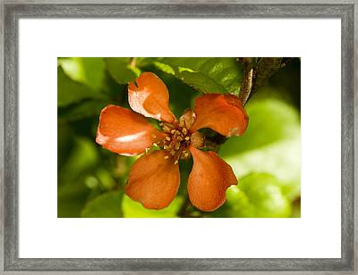 Red Flower Framed Print by Jouko Mikkola