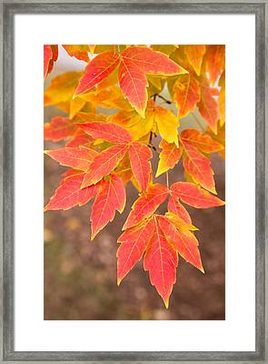 Red Foliage On Farmland In Vermont Framed Print by American School