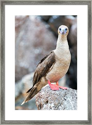 Red Footed Booby Vertical Framed Print by Jess Kraft