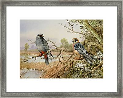 Red-footed Falcons Framed Print by Carl Donner