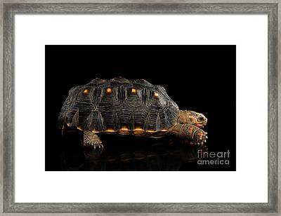 Red-footed Tortoise Framed Print by Sergey Taran