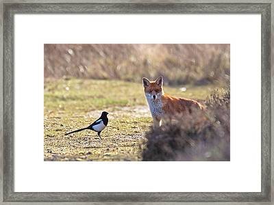 Red Fox And Magpie Framed Print