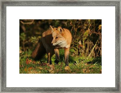 Framed Print featuring the photograph Red Fox by Doris Potter