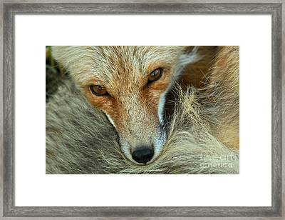 Red Fox Eyes Framed Print by Adam Jewell