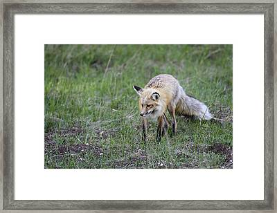 Red Fox Hunting Framed Print