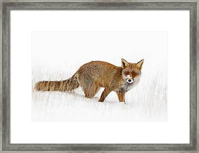 Red Fox In A Snow Covered Scene Framed Print