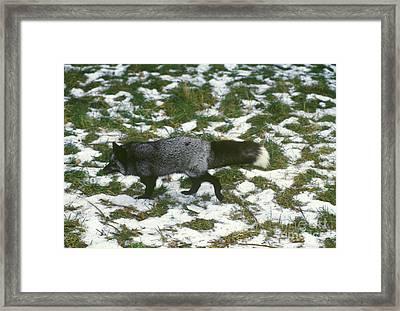 Red Fox In Norway Framed Print by Jean-Louis Klein & Marie-Luce Hubert