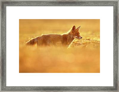 Red Fox In Red Light II Framed Print by Roeselien Raimond