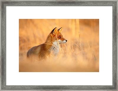 Red Fox In Red Light Framed Print