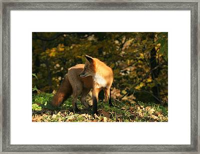 Framed Print featuring the photograph Red Fox In Shadows by Doris Potter