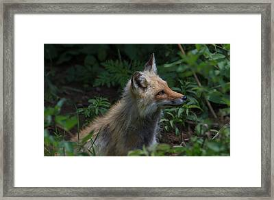 Red Fox In The Forest Framed Print