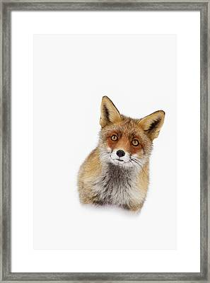Red Fox In The Snow Portrait Framed Print