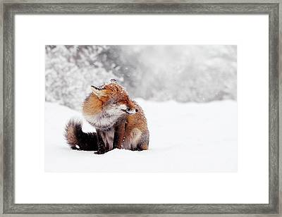 Red Fox In The Snow Series Framed Print