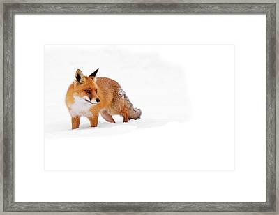 Red Fox In The White Snow Framed Print by Roeselien Raimond