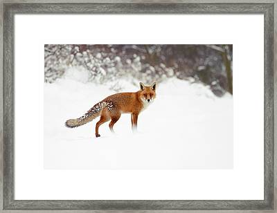 Red Fox In Winter Wonderland Framed Print by Roeselien Raimond