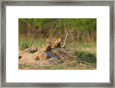Red Fox Kits Keeping Watch Framed Print