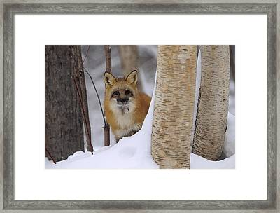 Red Fox Looking Out From Behind Trees Framed Print