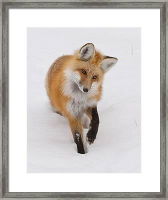 Red Fox Portrait Framed Print