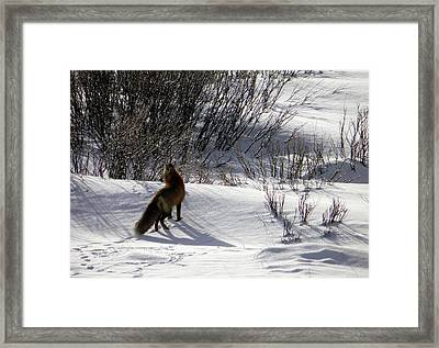Framed Print featuring the photograph Red Fox  by Meagan  Visser