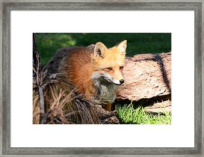 Red Fox On Patrol Framed Print by Debby Pueschel