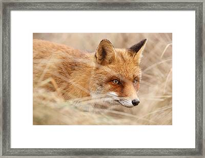 Red Fox On The Hunt Framed Print
