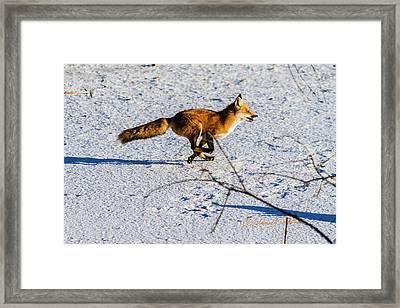 Red Fox On The Run Framed Print