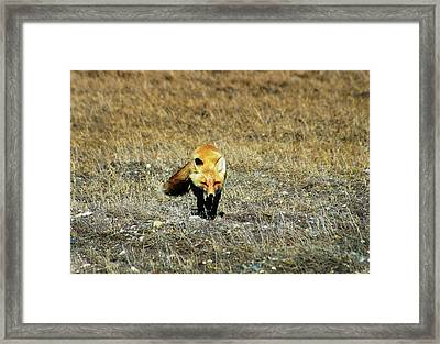 Framed Print featuring the photograph Red Fox On The Tundra by Anthony Jones