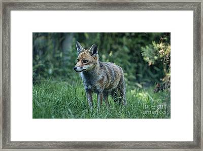 Red Fox Framed Print by Philip Pound