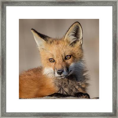 Red Fox Portrait Framed Print by Bill Wakeley