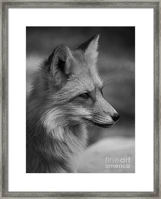 Red Fox Portrait In Black And White Framed Print