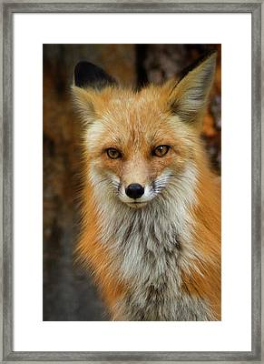 Red Fox Portrait Framed Print by John De Bord