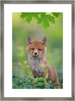 Red Fox Pup Framed Print