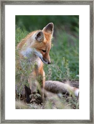 Red Fox Pup Outside Its Den Framed Print by Mark Duffy