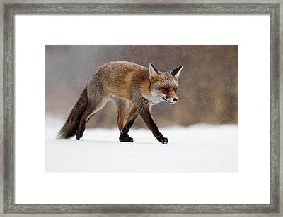 Red Fox  Running Through A Snowshower Framed Print by Roeselien Raimond