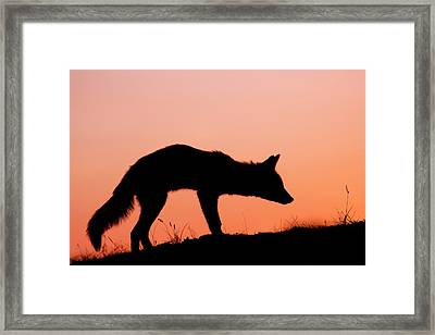 Red Fox Silhouette At Sunset Framed Print