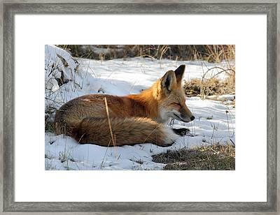 Red Fox Sleeping In The Snow Framed Print by Pierre Leclerc Photography
