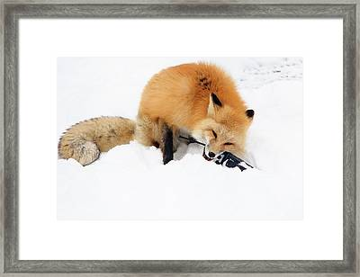 Red Fox To Base Framed Print