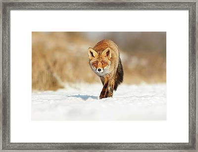 Red Fox Walking Through A Snow Landscape Framed Print