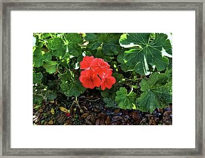 Red Geranium 1 Framed Print by John Trommer