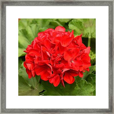 Red Hydrangea Framed Print by Jesus Maldonado