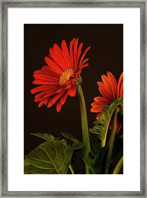 Framed Print featuring the photograph Red Gerbera Daisy 1 by Richard Rizzo