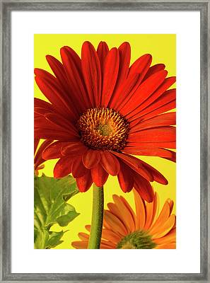 Framed Print featuring the photograph Red Gerbera Daisy 2 by Richard Rizzo