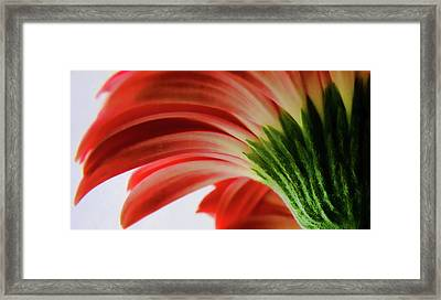 Red Gerbera Framed Print by Tony Grider